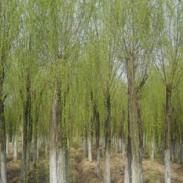 南昌12公分15公分裸根带土球垂柳价图片