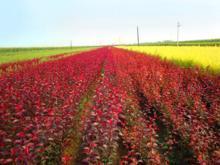 供应大量密枝红叶李扦插苗,密枝红叶李容器苗、密枝红叶李小苗批发