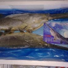 供应鸭嘴鱼