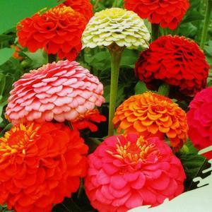 花种子_百日花种子图片