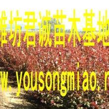 出售山东密枝红叶李小苗、密枝红叶李扦插苗、密枝红叶李容器苗批发