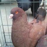 供应红羽鸽子