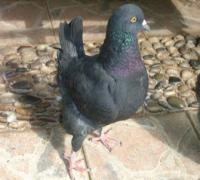 黑羽鸽图片/黑羽鸽样板图 (1)
