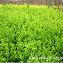 供应长春绿化苗木