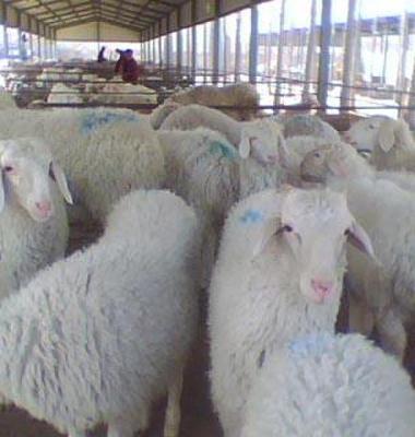 内蒙古绵羊养殖前景小尾寒羊价格行图片/内蒙古绵羊养殖前景小尾寒羊价格行样板图 (4)
