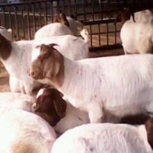 供应肉羊波尔山羊小尾寒羊白山羊