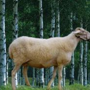 小尾寒羊羊苗价格成年母羊多少钱图片