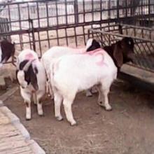 四川哪里有养羊基地波尔山羊多少钱只批发