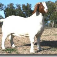 纯种波尔山羊种羊价格图片