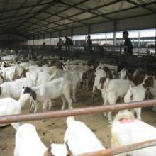 波尔山羊价格小羊价格孕羊多少钱