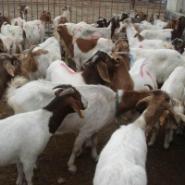 今年波尔山羊价格小羊苗什么价格图片