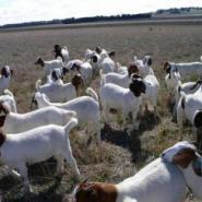 波尔山羊孕羊哪里买小羊苗价格图片