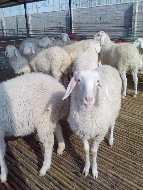 内蒙古绵羊养殖前景小尾寒羊价格行销售