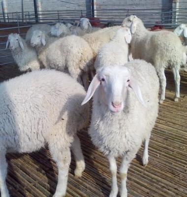 内蒙古绵羊养殖前景小尾寒羊价格行图片/内蒙古绵羊养殖前景小尾寒羊价格行样板图 (1)