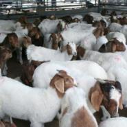 湖南波尔山羊价格30斤羔羊多少钱斤图片