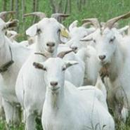 亚洲黄羊图片