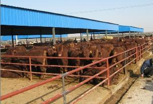 肉牛犊价格今日肉牛犊价格报价销售