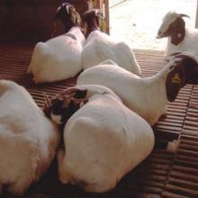 供应山西波尔山羊价格是多少羊价格