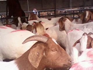 国内各地波尔山羊价格种羊羊苗报价图片