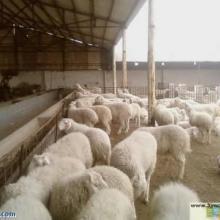 供应国宝小尾寒羊秋天收获的季节赶快养殖牛羊赚大钱批发