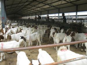 养殖纯种波尔山羊利润大图片