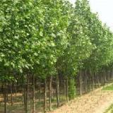 供应速生杨光合产物的分配和储藏