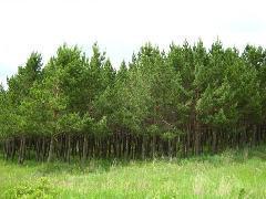 榆林市1米高的油松图片