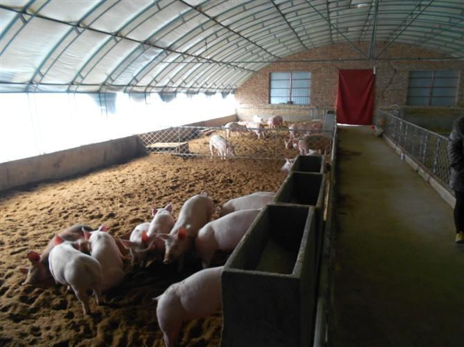农村养猪猪舍设计图内容|农村养猪猪舍设计图版面设计