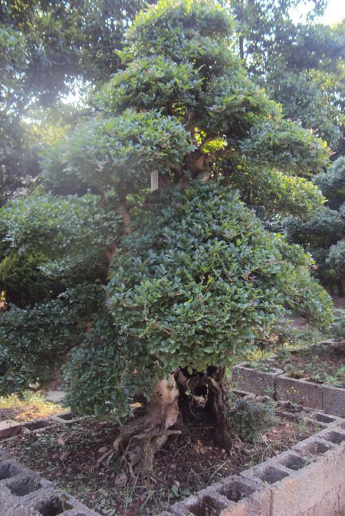 供应精品造型湖南榆树榆树桩