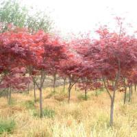 供应湖南精品红枫大树