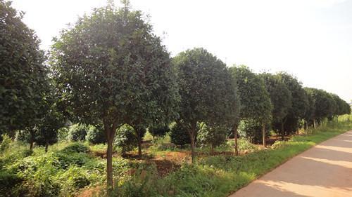 供应造型桂花苗浏阳苗木基地湖南罗汉松树