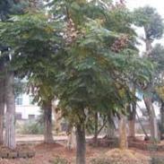 黄山栾树10公分-15公分土球栾树图片