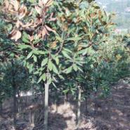 茶花球广玉兰大树茶梅价格图片