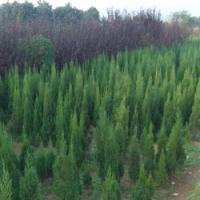 湖南苗木不同品种湖南松柏基地
