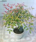 供应绿化苗木—南天竹