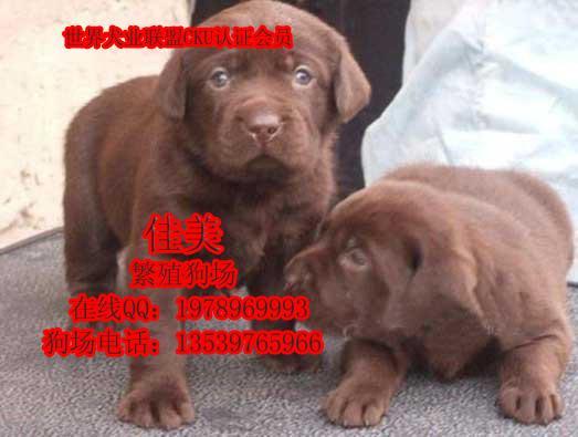拉多广州到哪里买狗最好拉布拉多幼犬价格多少图片