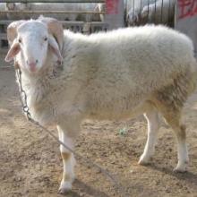 供应牛羊驴养殖、供应、项目合作、小尾寒羊、纯种羊、肉羊、羊羔批发