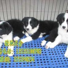 广州边牧多少钱可以卖到广州纯种边牧多少钱一只批发