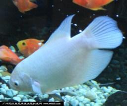 观赏鱼热带鱼图片 观赏鱼热带鱼样板图 观赏鱼热带鱼 亿龙高清图片