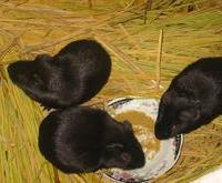 河北黑豚养殖场