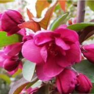四季彩叶海棠繁育基地图片