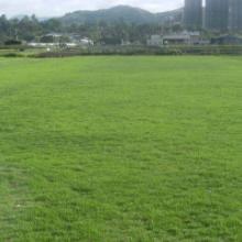 供应草坪供应