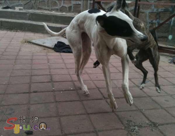 山东 养殖基地/供应格力犬犬舍图片