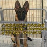 广州哪里有卖德牧犬纯种德牧犬价格图片