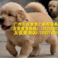广州哪里有卖金毛犬纯种金毛犬价格图片