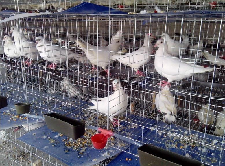 养鸽子的方法_家庭鸽子养殖方法