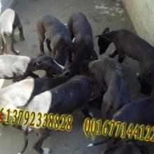 供应格力犬养殖场山东天一犬舍格力犬价格格力犬批发