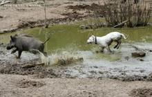 杜高犬打猎野猪图片