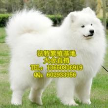 供应广州法特犬舍专业养殖场售纯种健康正宗澳版微笑天使萨摩耶幼犬批发