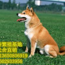 广州法特狗场日本秋田犬柴犬公母都有疫苗驱虫已做法特包健康纯种批发